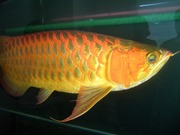 Premium Super Red  Arowana and many others for sale,