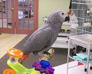 Baby African Congo Greys on sale.