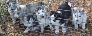 Siberian Husky puppies adoption